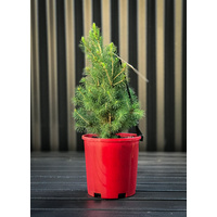 Extra Small Potted Tree (Picea)