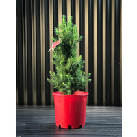 Small Potted Tree (Picea)